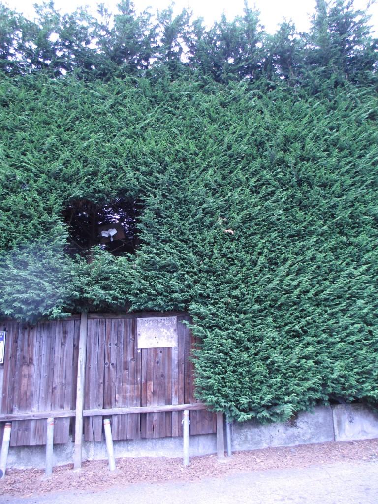 HedgeHoleBehindPinehurstPub